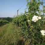 rang de vigne et rose blanche