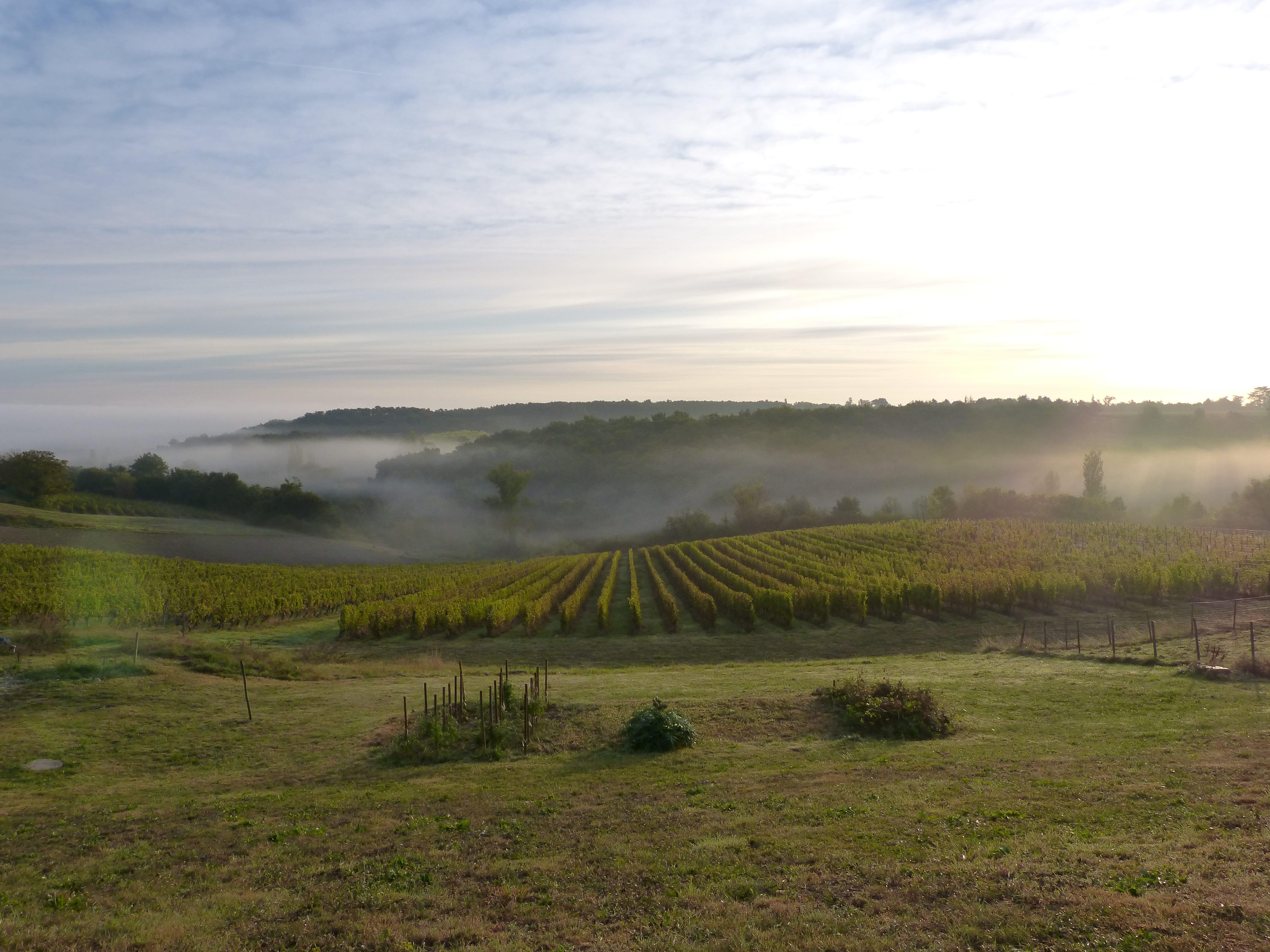 brume matinale vignes